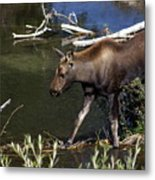 Calf Moose Metal Print