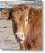 Calf Smiles Metal Print