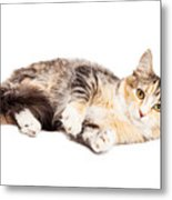 Calico Kitty Laying Over White Metal Print