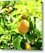California Bright Orange Fruit Tree In Downtown Sacramento In Ca Metal Print