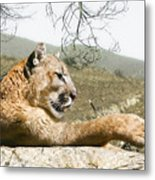 California Cougar Metal Print
