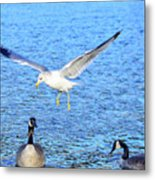 California Gull - Canada Geese Metal Print
