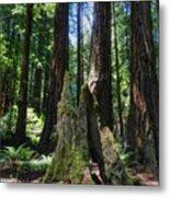 California - Muir Woods 006 Metal Print by Lance Vaughn