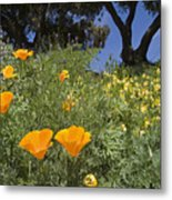 California Poppy Eschscholtzia Metal Print