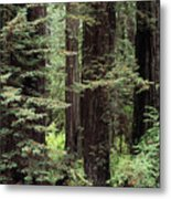 California Redwoods Metal Print