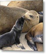 California Sea Lion And Newborn Pup San Metal Print by Suzi Eszterhas