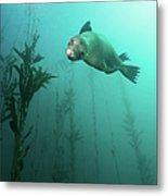 California Sea Lion In Kelp Metal Print