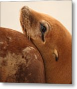 California Sea Lion Pup Resting Against Mother Metal Print by Max Allen