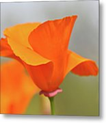 California State Poppy Macro Metal Print