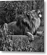 Call Of The Wild Bw Metal Print