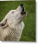 Call Of The Wild H Metal Print