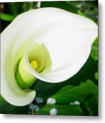 Calla Beauty Metal Print