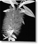 Callistemon Beauty 1 Metal Print