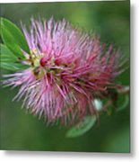 Callistemon Viminalis Taree Pink Weeping Bottlebrush Flowering Trees Of Hawaii Metal Print