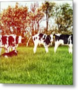 Calves In Spring Field Metal Print