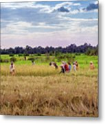 Cambodia Field Workers Harvesting Rice Metal Print