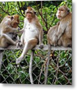 Cambodia Monkeys 7 Metal Print
