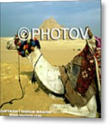 Camel And The Great Pyramids Of Giza - Egypt Metal Print