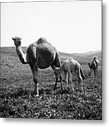 Camel And Young Metal Print
