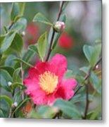Camellia Sasanqua Yuletide Metal Print
