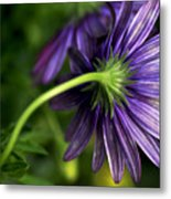 Camera Shy Daisy Metal Print