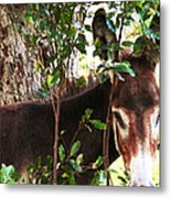 Camera Shy Donkey Metal Print