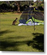 Camping With Swamp Wallaby Metal Print