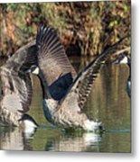 Canada Geese 5659-092217-1cr-p Metal Print