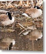 Canada Geese  Metal Print