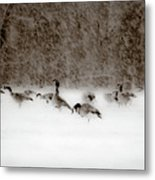 Canada Geese Feeding In Winter Metal Print