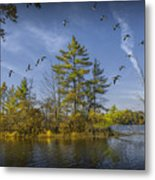 Canada Geese Flying By A Small Island On Hall Lake Metal Print