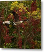 Canada Geese In Autumn Metal Print