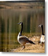 Canada Geese In Golden Sunlight Metal Print