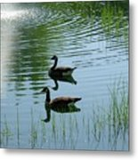 Canada Geese Swimming By Fountain Metal Print