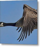 Canada Goose Coming In For A Landing Metal Print
