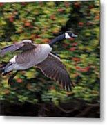 Canada Goose Landing Metal Print
