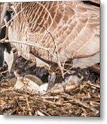 Canada Goose Maternity Ward Metal Print