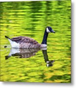 Canada Goose Swimming In A Pond Metal Print