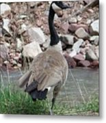 Canadian Goose By The River Metal Print
