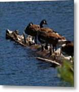 Canada Goose Family Line-up Metal Print