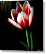 Candy Cane Tulip Metal Print