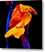 Canna Lilies On Black With Blue Metal Print