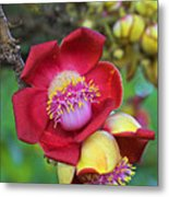 Cannonball Tree Flower-st Lucia Metal Print