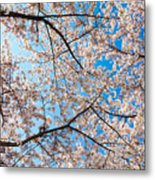 Canopy Of Cherry Blossoms Metal Print