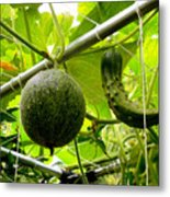 Cantaloupe And Hanging On Tree 1 Metal Print