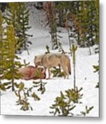 Canyon Wolf On Elk Kill Metal Print