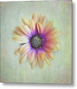 Cape Daisy Looking Up Metal Print