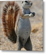 Cape Ground-squirrel  Metal Print