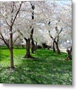 Capitol Gardens Cherry Trees Metal Print