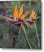 Captivating Bird Of Paradise In Full Bloom Metal Print